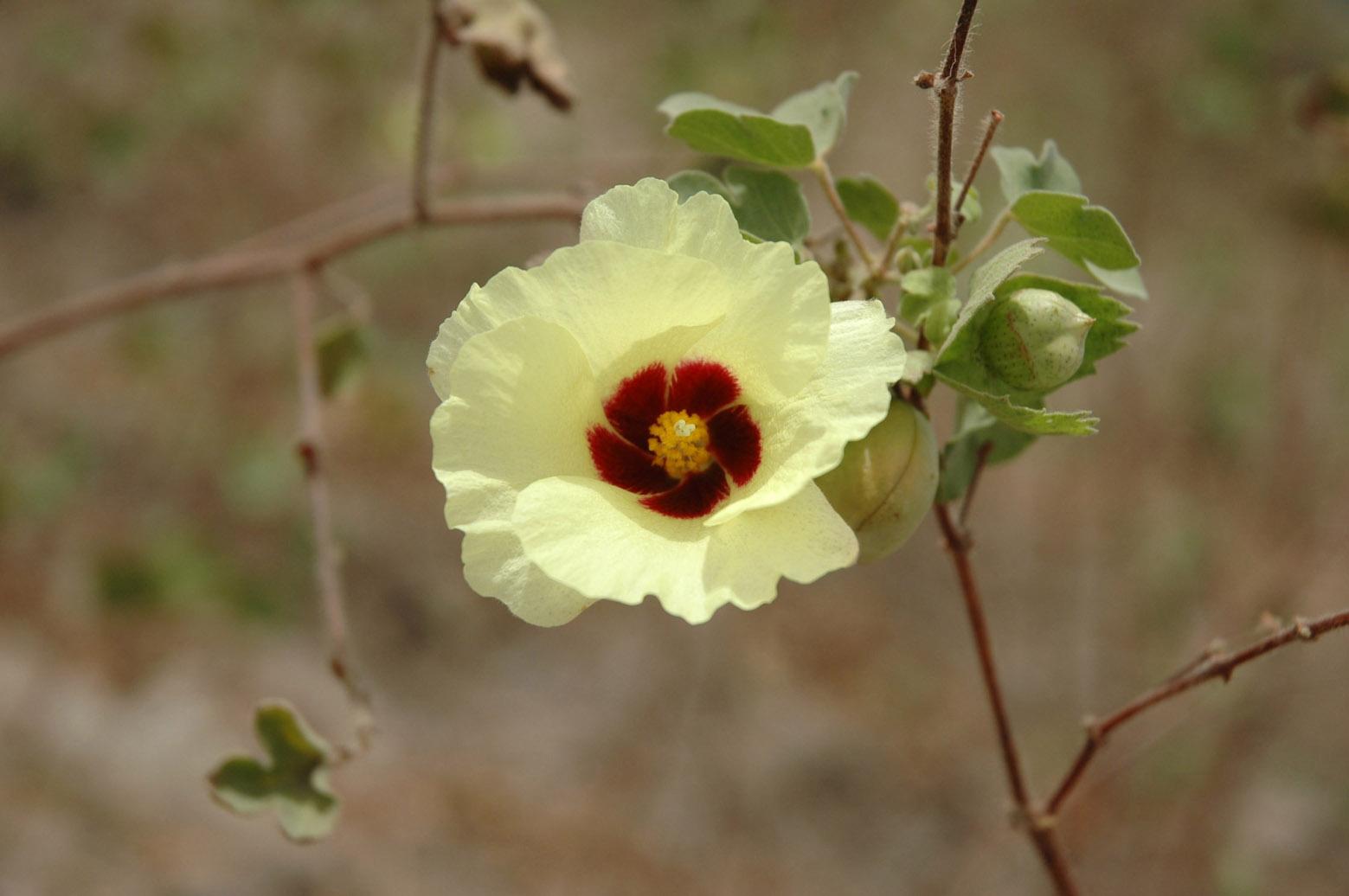 Une fleur de cotonnier